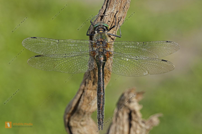 Falkenlibelle Weibchen