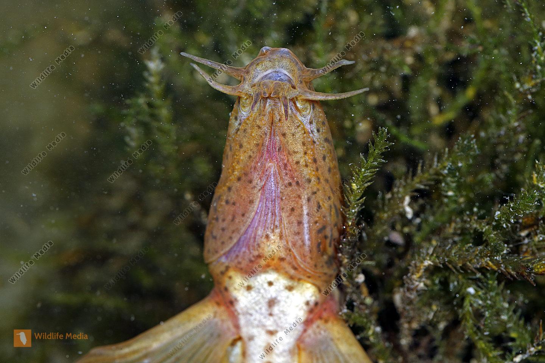 Europäischer Schlammpeitzger Weibchen