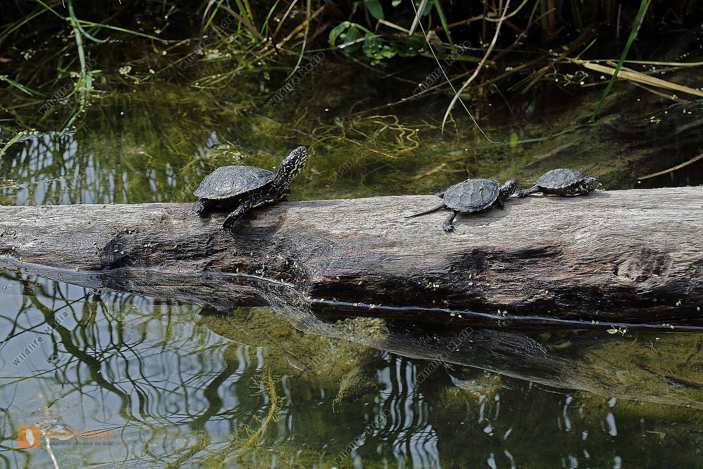 Europäische Sumpfschildkröte Jungtiere