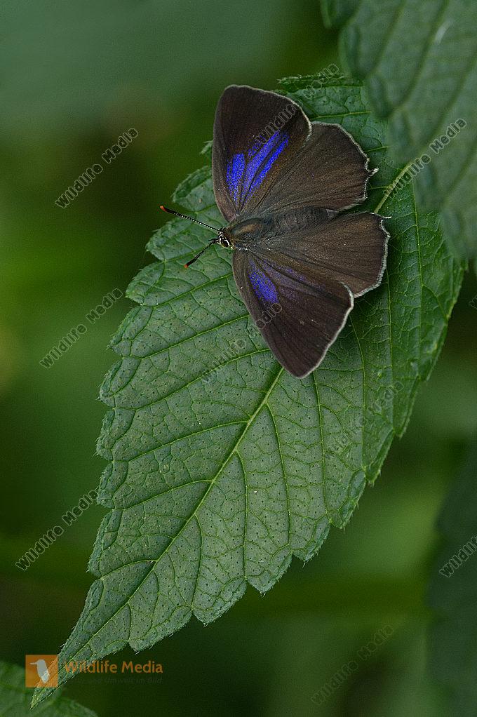 Blauer Eichen-Zipfelfalter