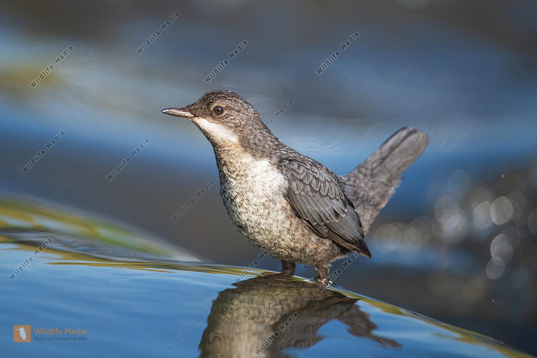 Wasseramsel Jungvogel