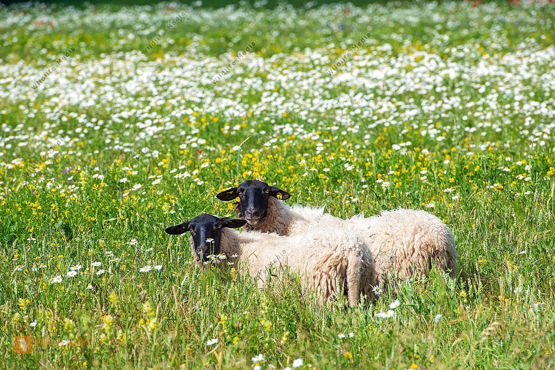 Rhönschafe auf der Weide