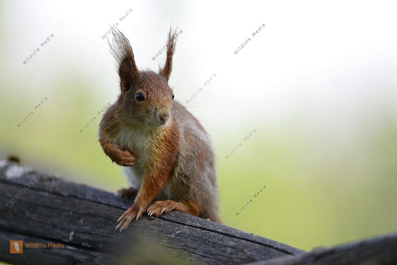 Eichhörnchen auf einem Baumstamm