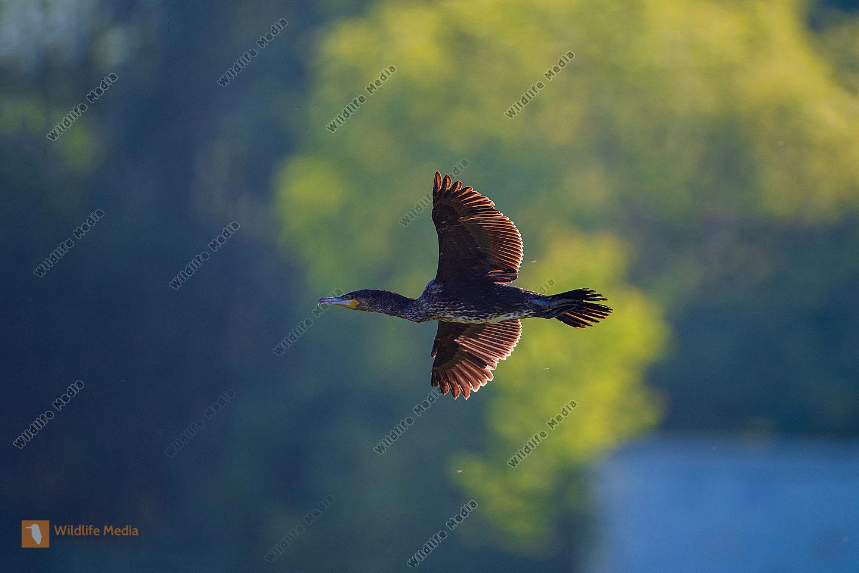 Fliegender Kormoran im Gegenlicht