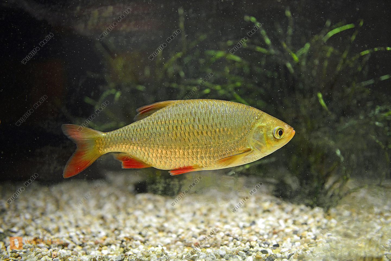 Rotfeder Spßwassersfisch