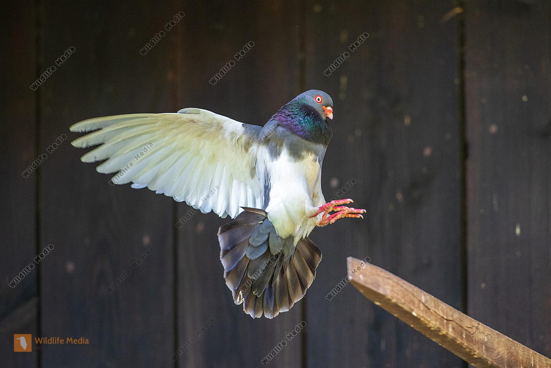 Haustaube bei der Landung