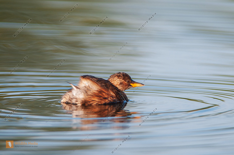 Zwergtaucher Jungvogel