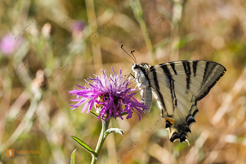 Ein Segelfalter saugt an einer Flockenblume