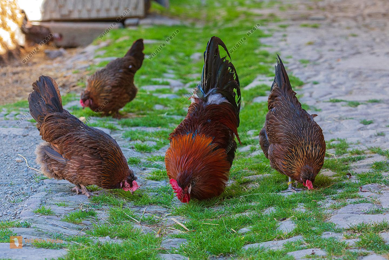 Altsteirer Haushühner im Hof