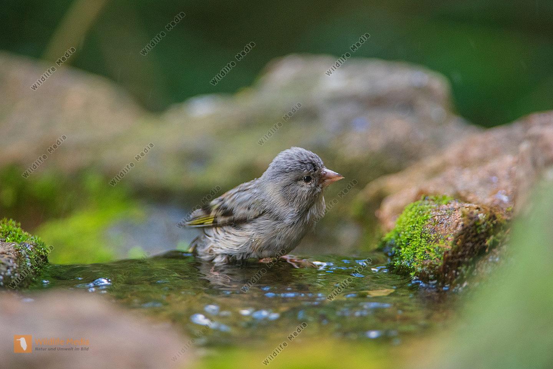 Grünfink Jungvogel beim Bad