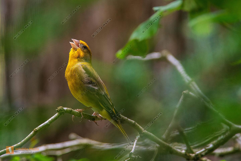 Grünfink Männchen beim Gesang