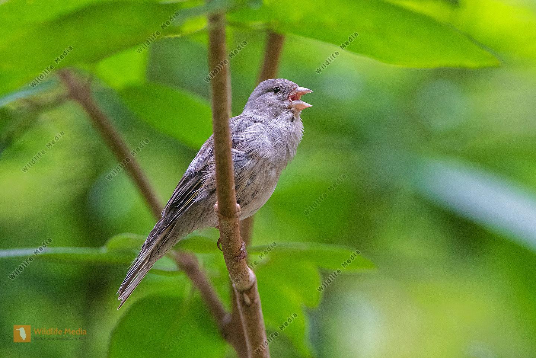 Grünfink Jungvogel