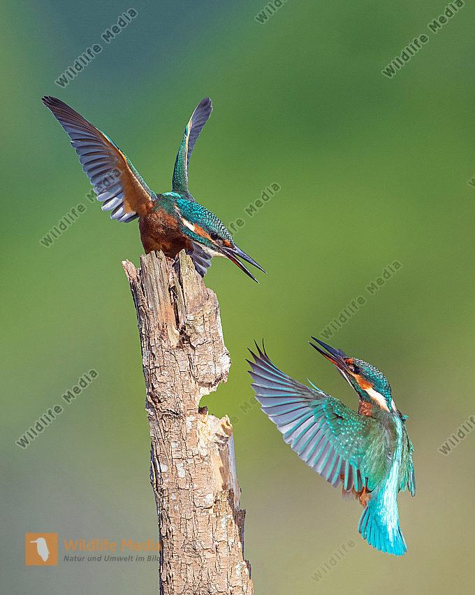 Eisvögel streiten um die Sitzwarte