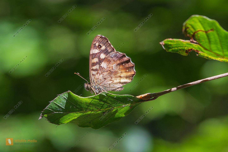Waldbrettspielfalter auf einem Blatt
