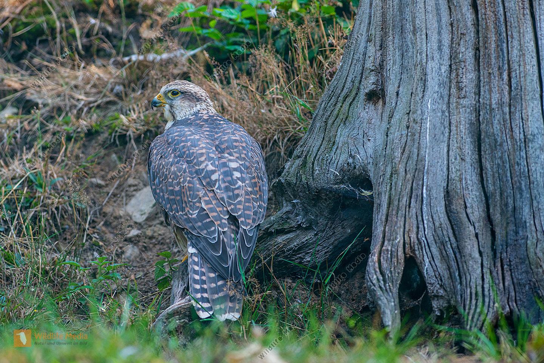 Würgefalke Jungvogel im Unterholz