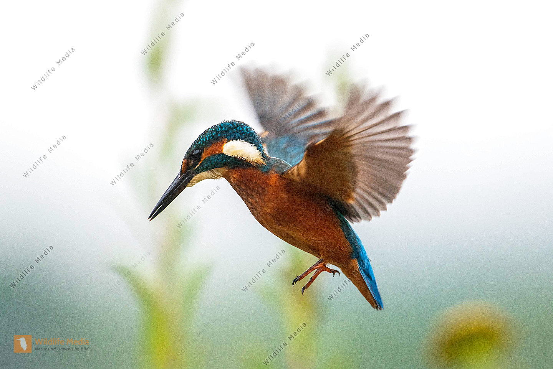 Eisvogel Alcedo atthis im Flug