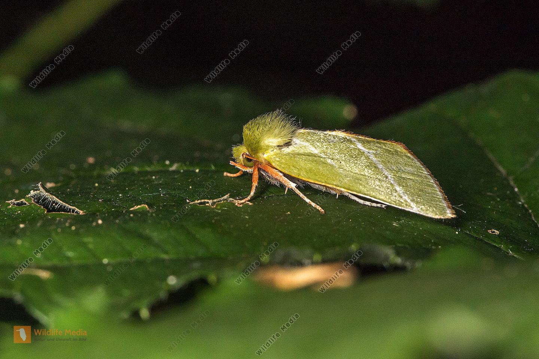 Eine Buchen-Kahneule in Ruhestellung auf einem Blatt