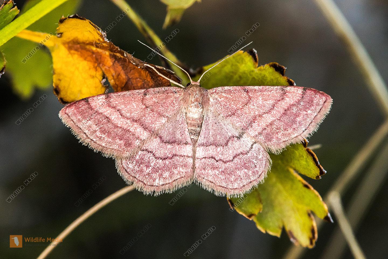 Ein ruhender Violettroter Kleinspanner mit aufgespannten Flügeln