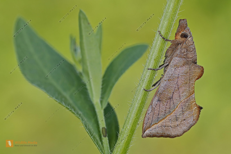 Wiesenrauten Kaputzeneule Weibchen