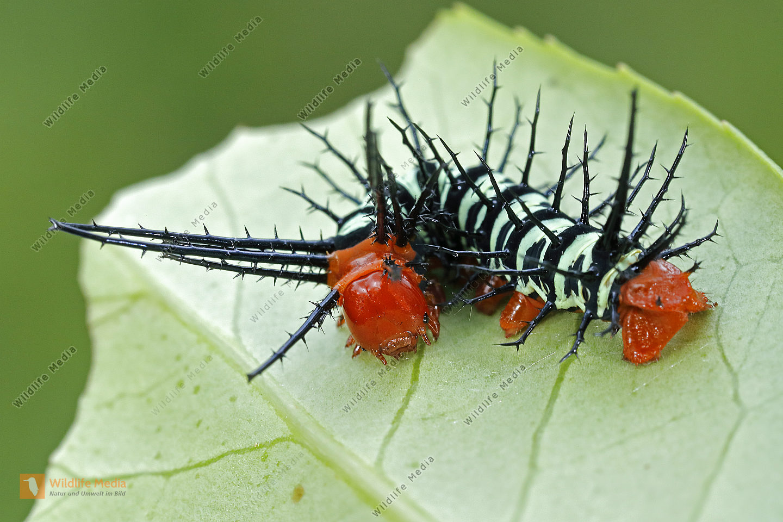 Citheronia aroa halberwachsene Raupe