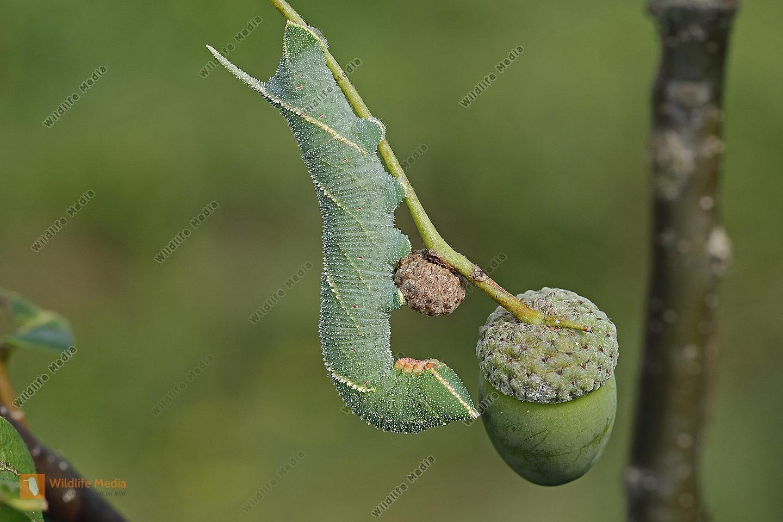 Eichenschwärmer halberwachsene Raupe