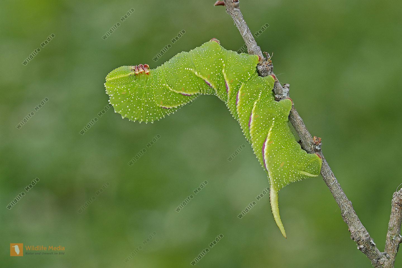 Ligusterschwärmer halberwachsene Raupe
