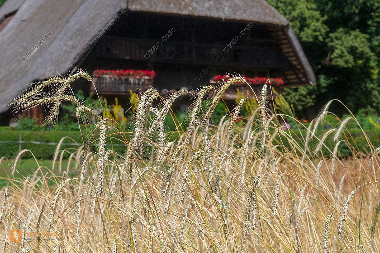 Roggenfeld vor Schwarzwälder Bauernhaus