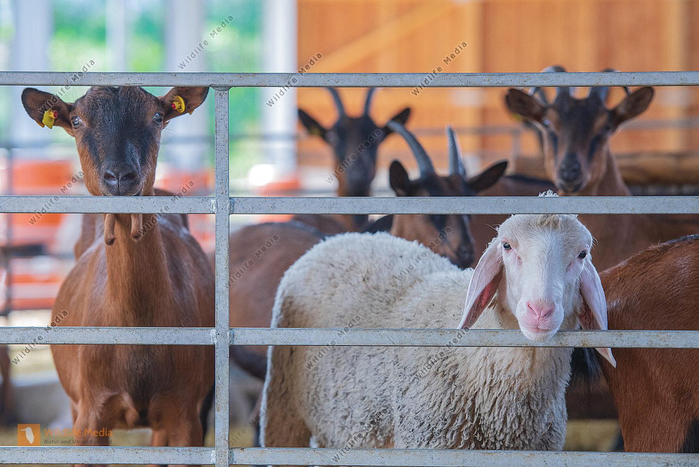 Merinoschaf und Ziegen im Stall