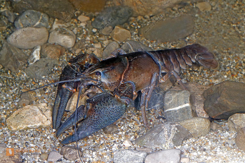 Europäischer Flußkrebs Männchen