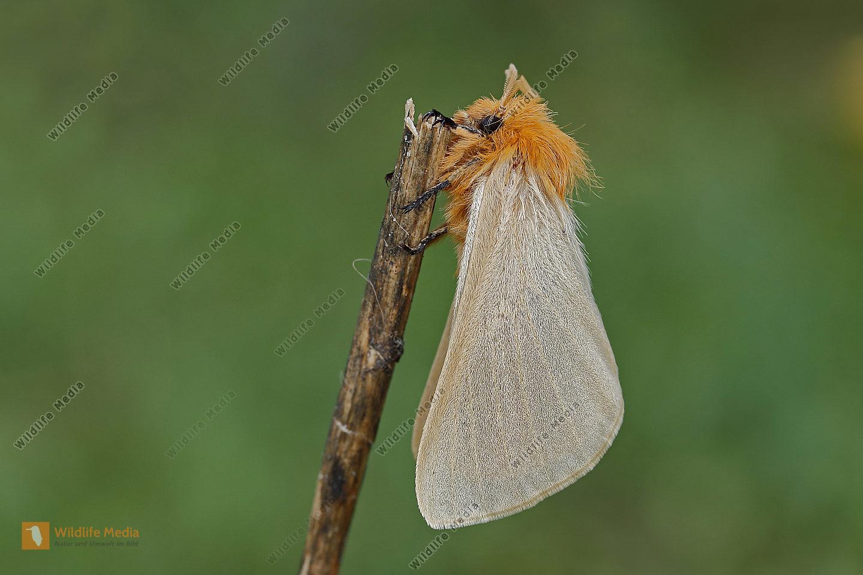 Gelber Wiesenspinner Weibchen
