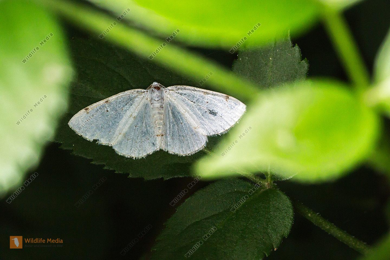 Ein Zweifleck-Weißspanner mit ausgespannte Flügeln