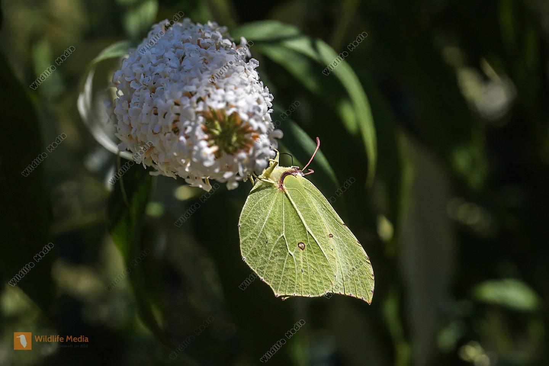 Ein Zitronenfalter saugt an einer Blüte