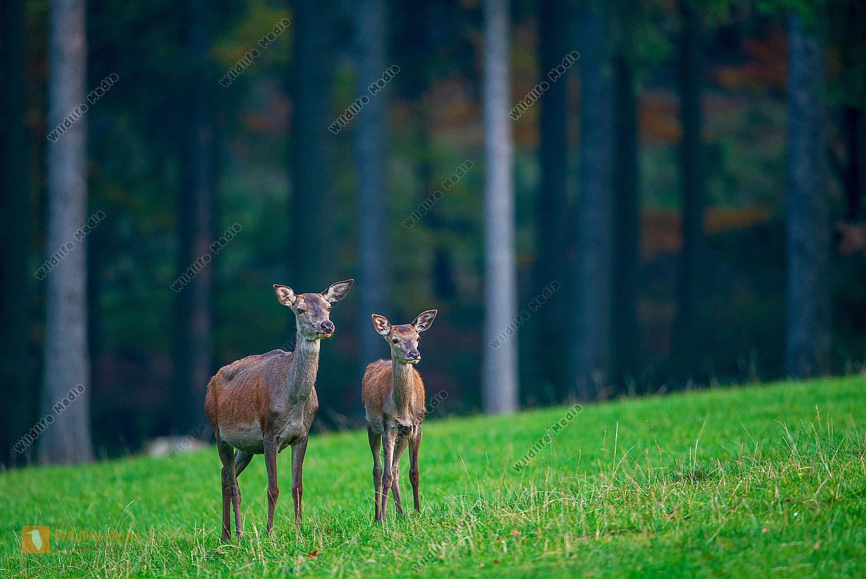 Rothirsche Alttier mit Kalb im Herbst