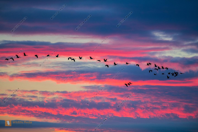 Ziehende Kraniche im Morgenrot