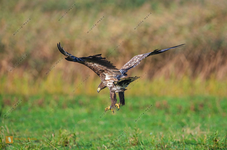 Seeadler bei der Landung