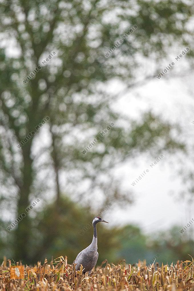 Geaukranich auf dem Maisfeld