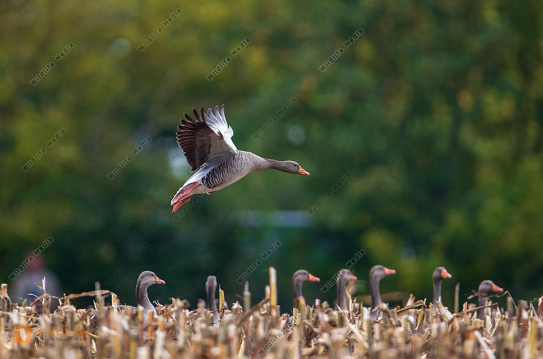 Graugans bei der Landung