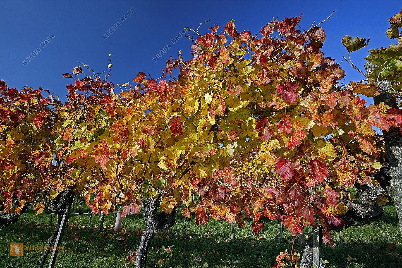 Buntes Weinlaub Rotwein