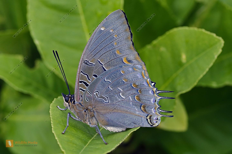 Blauflecken Charaxes Männchen