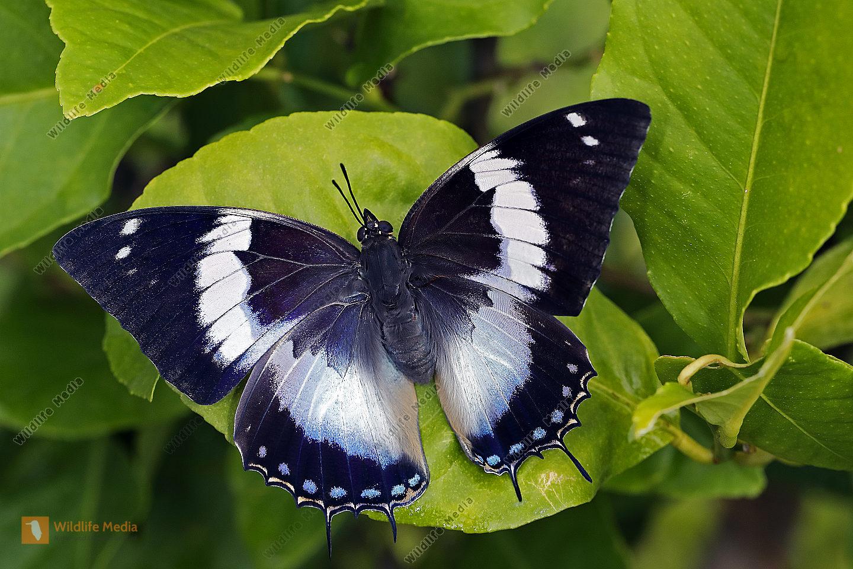Blauflecken Charaxes Weibchen
