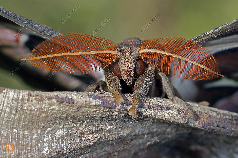 Atlasseidenspinner Lorquini Männchen