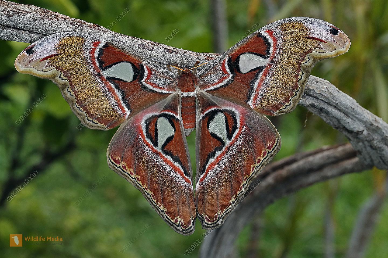 Atlasseidenspinner Lorquini Weibchen