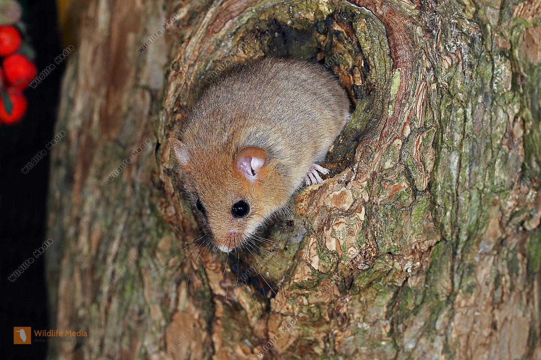 Haselmaus schaut aus Baumhöhle