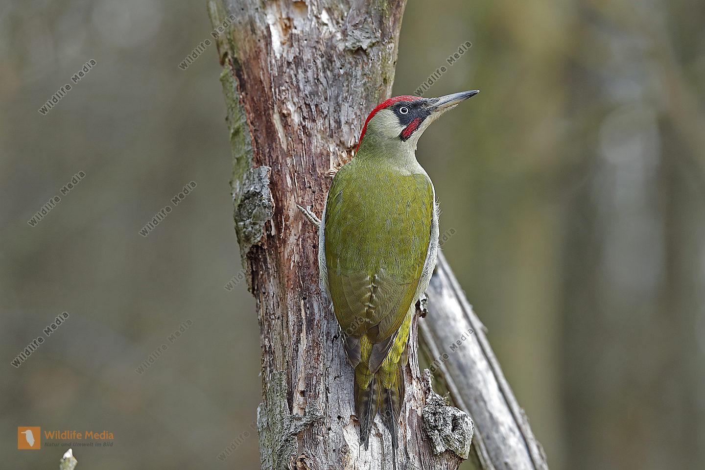 Grünspecht Männchen