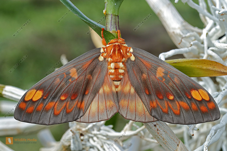Citheronia aroa Weibchen