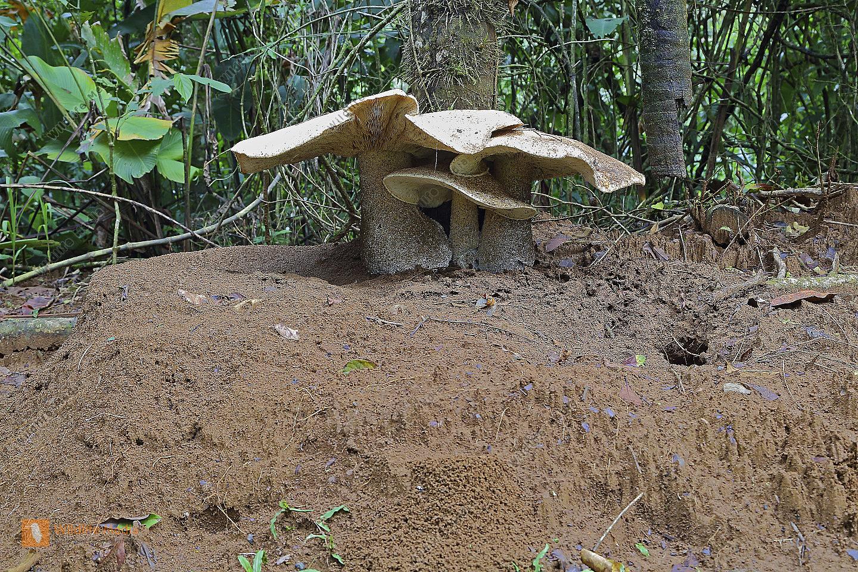 Riesenpilz Costa Rica