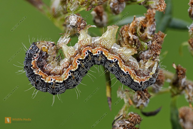 Beifuß-Blüteneule halberwachsene Raupe