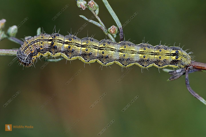 Beifuß-Blüteneule Raupe