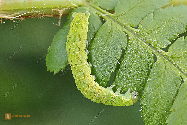 Smaragdeule halberwachsene Raupe