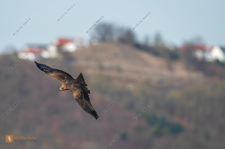 Schwarzmilan im Flug